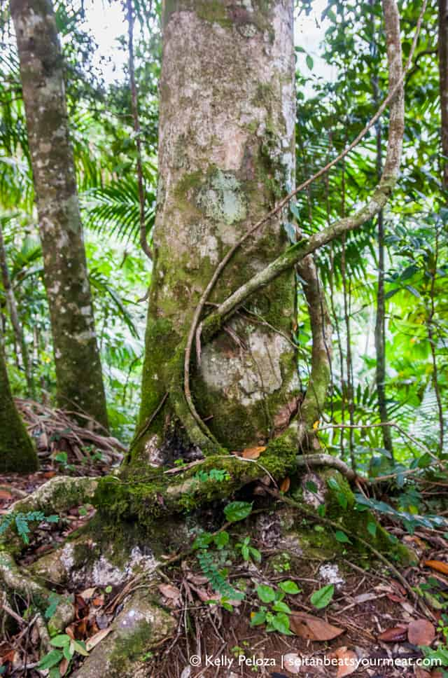 Tree in El Yunque rainforest